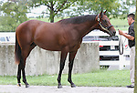 Hip #132 Distorted Humor - My Miss Storm Cat at the  Keeneland September Yearling Sale.  September 9, 2012.