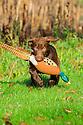 00975-01508 Labrador Retriever chocolate puppy is retrieving dummy.
