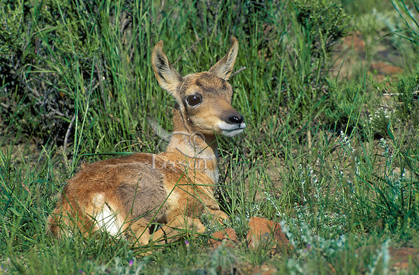 Pronghorn fawn (Antilocapra americana) nearly odorless at just a few days old lays still in prairie grass to hide from predators until mother returns from feeding. Spring, Yellowstone National Park, Montana, U.S.A.