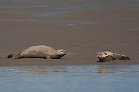 Seehund, liegt auf einer Sandbank, Phoca vitulina, harbor seal, common seal