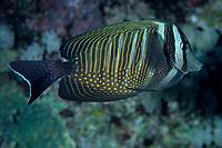 Sailfin tang, Zebrasoma desjardinii, Egypt, Red Sea, Northern Africa