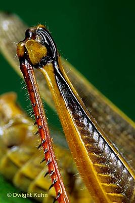 """OR04-006a  Grasshopper - leg close-up, short horned or """"true"""" grasshopper, two-striped grasshopper - Melanoplus bioittatus"""