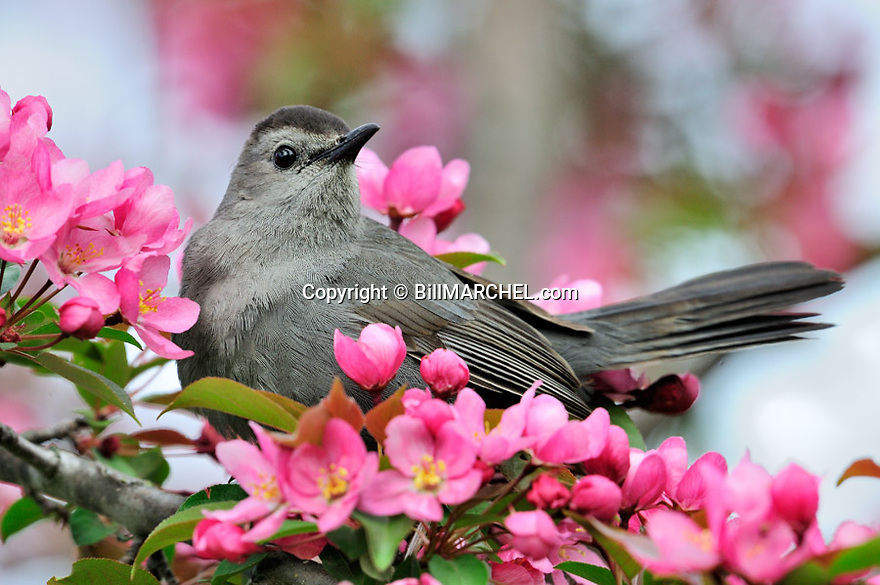 00135-005.06 Gray Catbird is perched in red splendor crab apple tree in bloom.  Song, mate, breed, territory, landscape, fruit, backyard.