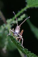 Rote Keulenschrecke, Gomphocerippus rufus, Gomphocerus rufus, Rufous grasshopper