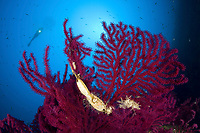 scuba diver with red gorgonia, Paramuricea clavata and catshark egg, Scyliorhinus sp., Marine Protected area Punta Campanella, Massa Lubrense, Penisola Sorrentina, Costa Amalfitana, Italy, Tyrrhenian Sea, Mediterranean