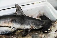 The hammerhead or giant hammerhead shark is a species of elasmobranch carcarriniforme of the family Sphyrnidae.<br /> Sale of shrimp, percado, seafood of the sea. Food of the sea. tourist destination market Puerto Peñasco, Sonora, Mexico ..<br />  (Photo: Luis Gutierrez /NortePhoto.com)<br /> El tiburón martillo  o cornuda gigante es una especie de elasmobranquio carcarriniforme de la familia Sphyrnidae.<br /> Venta de camaron, percado, mariscos de la pesca del dia.comida del mar.  mercado del destino turistico Puerto Peñasco, Sonora, Mexico..