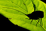 Silhouette of female leaf-mimic bush cricket or katydid (unknown species) (Tettigoniidae ). Manu Biosphere Reserve, lowland Amazon rainforest, Peru.