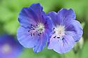 Geranium 'Johnson's Blue', late April.