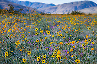 California desert spring wildflower superbloom with  Helianthus petiolaris subsp. canescens - Gray desert sunflower, wildflowers on desert floor of Sonoran Desert at Anza Borrego California State Park with Santa Rosa Mountains