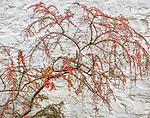 Glencoe, Scotland: Cotoneaster shrub against a white washed stone wall.