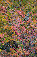 The Chilean flicker is one of a few different types of woodpeckers found in Torres del Paine.
