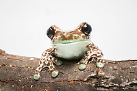 Mission golden-eyed tree frog, Trachycephalus resinifictrix, or Amazon milk frog, holding on to tree branch, South America, (c)