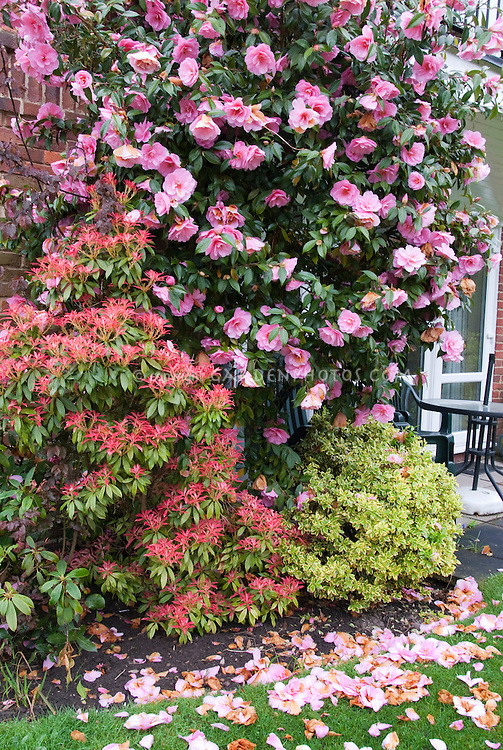 Firey new red growth of Pieris with Camellia in bloom and faded fallen petal flowers on lawn grass ground in apring April