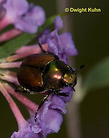 1C13-500z  Japanese Beetles eating flowers, Popilla japonica