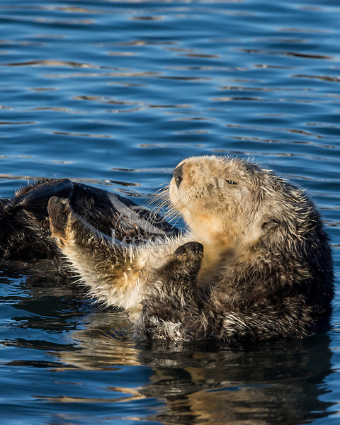 Sea Otter (Enhydra lutris) stretching after nap. California coast.