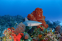 Caribbean reef shark, Carcharinus perezii, on coral reef with orange elephant ear sponges, Agelas clathrodes, Bahamas (W. Atlantic) (do)