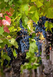 Germany, Baden-Wurttemberg, Ortenau district: grapes | Deutschland, Baden-Wuerttemberg, Ortenaukreis: Weinreben