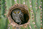 Elf owlet in Saguaro Cactus, Arizona