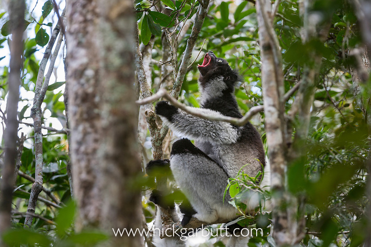 Adult Indri (Indri indri) territorial calling in the rainforest canopy. Andasibe-Mantadia National Park, eastern Madagascar.