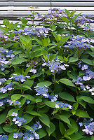 Hydrangea serrata 'Blue Billow' in blue flowers in June. Mountain Hydrangea, good in shade, blue flowers