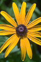 Rudbeckia Goldsturm' Black eyed Susan will come true from seed