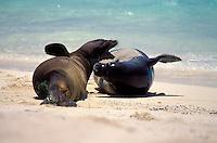 Hawaiian monk seals sparring on beach at Laysan I. Endangered Species