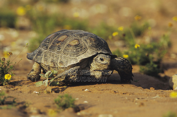 Texas Tortoise (Gopherus berlandieri), adult walking, Starr County, Rio Grande Valley, Texas, USA