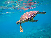 A green sea turtle swims near Kahalu'u Beach Park, Big Island.