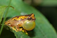Hourglass tree frog (Dendrosophus ebraccata)