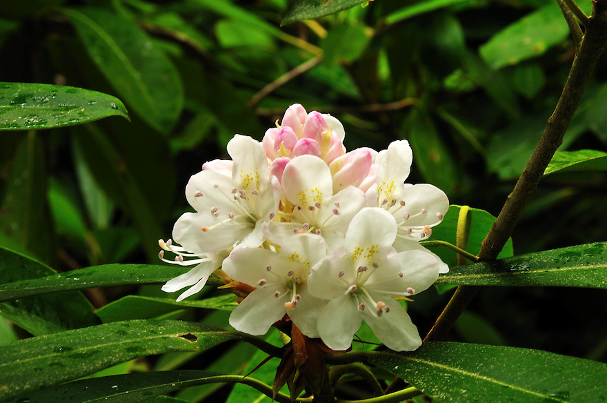 A single blossom of wild rhododendron at Rhododendron State Park.