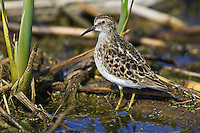 Least Sandpiper standing amongst some reeds