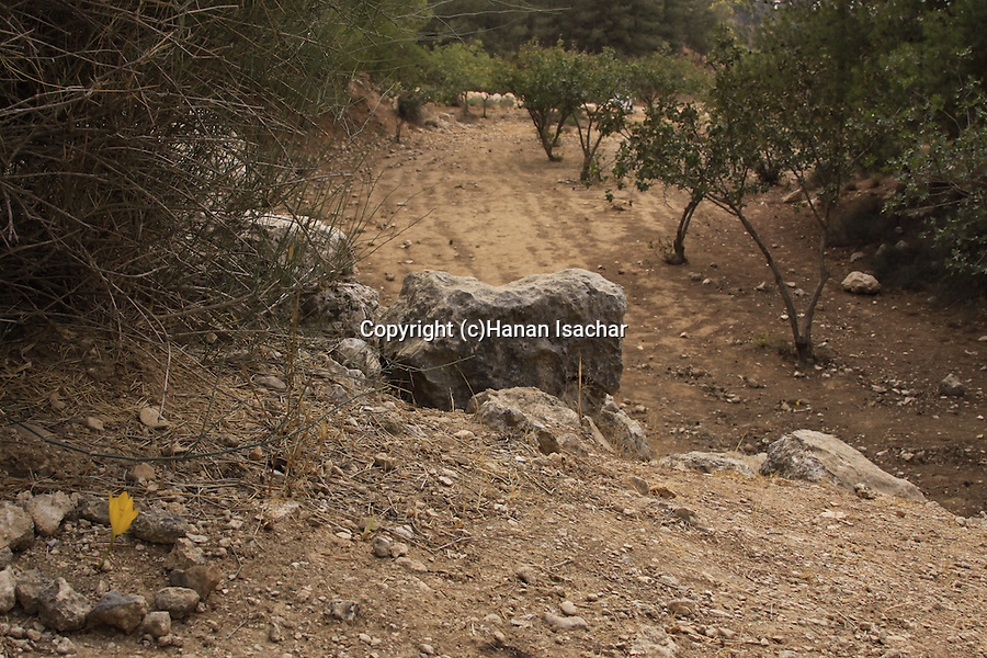 Israel, Southern Hebron Mountain, Sternbergia clusiana in Yatir forest