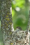 Ruby-crowned kinglet (Regulus calendula) sitting her nest of eggs