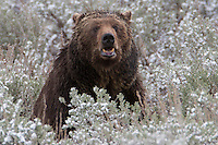 This Grizzly bear (Ursus arctos horribilis)had food at its feet and just looked up long enough to have its portrait taken.