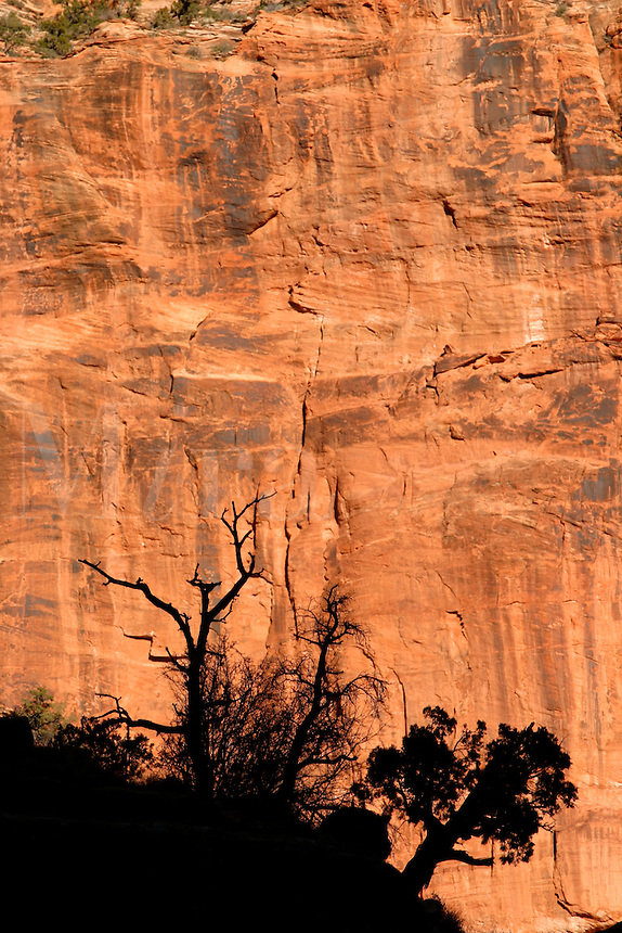 Juniper tree silohuetted against red canyon wall of The East Temple, Zion National Park, Washington County, U