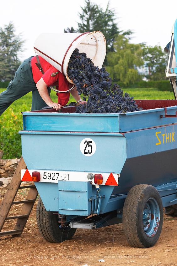 pinot noir harvesting with hod beaune cote de beaune burgundy france