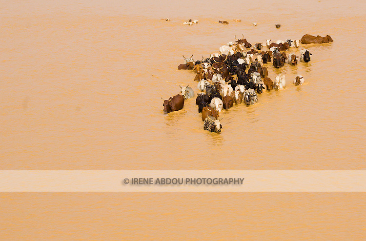A herd of cattle swim across the Niger River, cutting through Niger's capital city of Niamey.