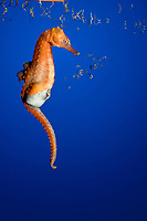 lined seahorse, spotted seahorse, northern seahorse, or Atlantic seahorse, Hippocampus erectus, pregnant male, giving birth, expelling fry or baby seahorses from brood pouch, native to Gulf of Mexico, Caribbean Sea, Atlantic Ocean (c)