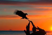 Bald eagles, Homer, Alaska, USA