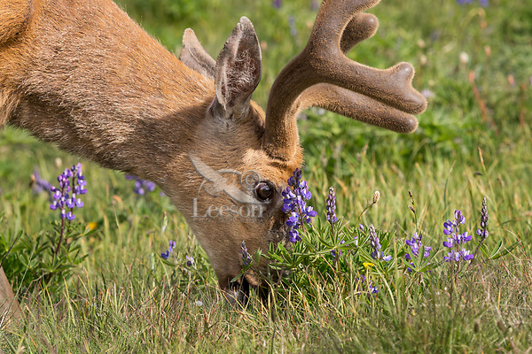 Columbian Black-tailed Deer buck feeding in subalpine meadow next to lupine wildflowers.  Olympic National Park, WA.  July.