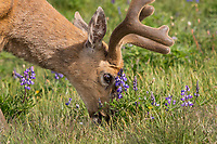 Columbian Black-tailed Deer buck feeding in subalpine meadow next to lupine wildflowers.  Olympic National Park, WA.  July.