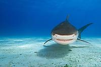 tiger shark, Galeocerdo cuvier, Tiger Beach, West End, Grand Bahama, Bahamas, Caribbean Sea, Atlantic Ocean