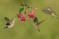 Black-chinned Hummingbird (Archilochus alexandri), adult females feeding on blooming Fuchsia, Hill Country, Texas, USA