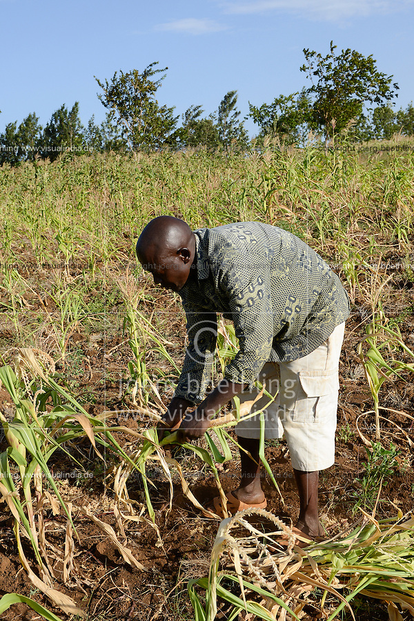 KENYA, Mount Kenya East, Region South Ngariama , extreme drought due to lack of rain has caused massive water problems, farmer uproot his dried failed maize crop to feed his cattle / KENIA, Duerre, vertrocknetes Maisfeld, Farmer reisst Maispflanzen aus um sie an sein Vieh zu verfuettern
