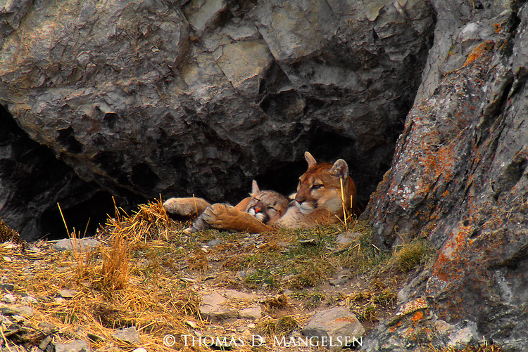 A mountain lion cub rests in its mothers arms in their den on winter morning on the National Elk Refuge in Jackson, Wyoming.