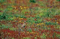 Felsenhuhn, auf einer Blumenwiese gut getarnt, Tarnung, Felsen-Huhn, Alectoris barbara, barbary partridge, Sardinien