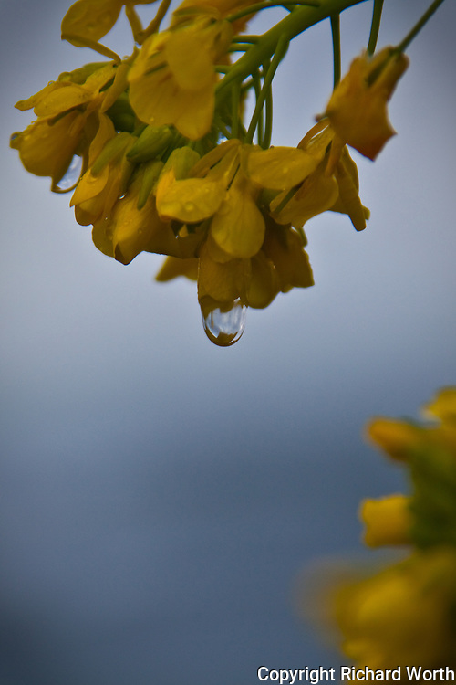 A raindrop dangles from a field mustard flower, defying gravity, but only for now.
