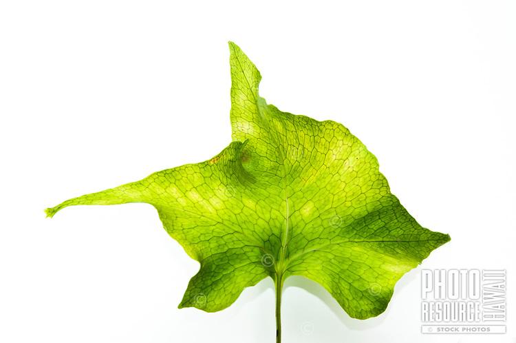 A close-up of a pe'ahi (a.k.a. laua'e) fern frond, Hawai'i.