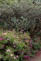 Feijoa sellowiana Gray foliage  (Pineapple Guava) in drought tolerant (Summer-dry) garden with flowering Rockrose - Cistus creticus (incanus)