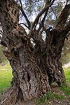 T-123 Olive tree in Beth Gemal